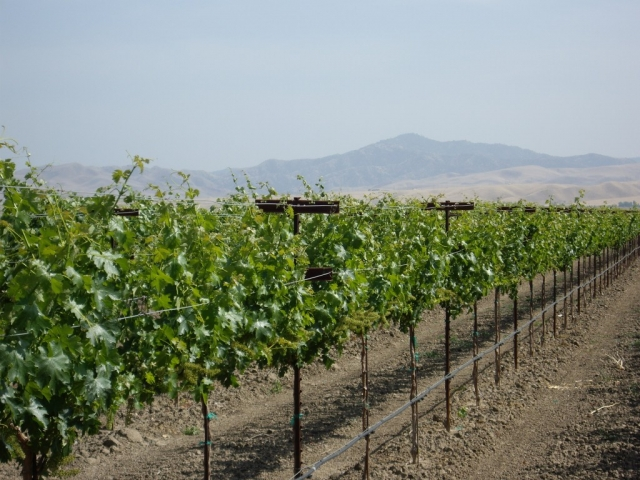 Vineyard and Mountains